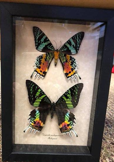 Sunset Moth Pair