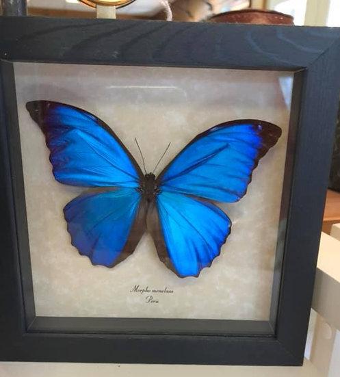 Blue Morpho Menelaus