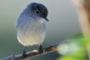 California Gnatcatcher - Endangered Species