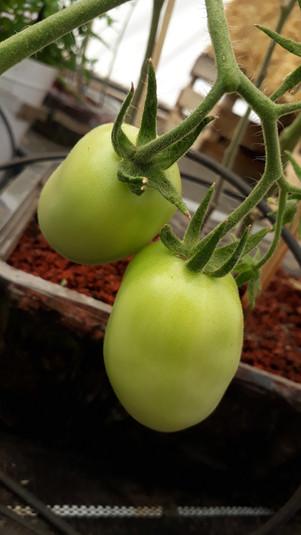 Jitomate saladet (Solanum lycopersicum)
