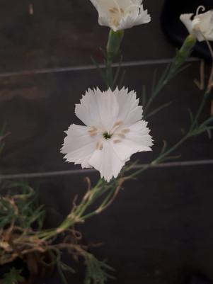 Clavel gigante (Dianthus caryophyllus)