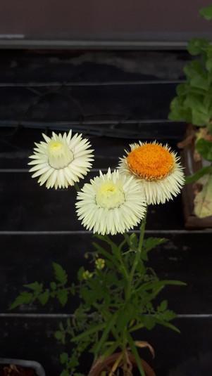 Crisantemo (Chrysanthemum)