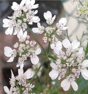 Flor de cilantro ( Coriandrum sativum )