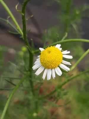 Manzanilla (Chamaemelum nobile)