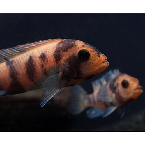 Red Blotch Cichlid