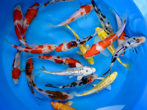 "Premium Quality Assorted Koi 4"" - 5"""