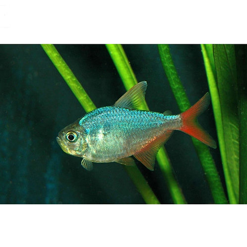 Red & Blue Colombian Tetra