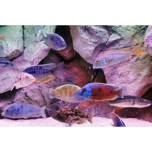 Assorted Haplochromis Cichlid