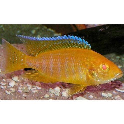 Albino Sunshine Peacock Cichlid
