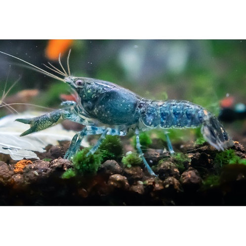 Blue/Grey Dwarf Crayfish