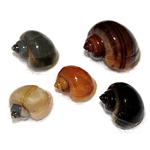 Assorted Mystery Snail