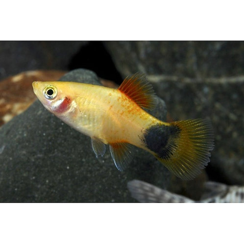 Gold Crescent Platy
