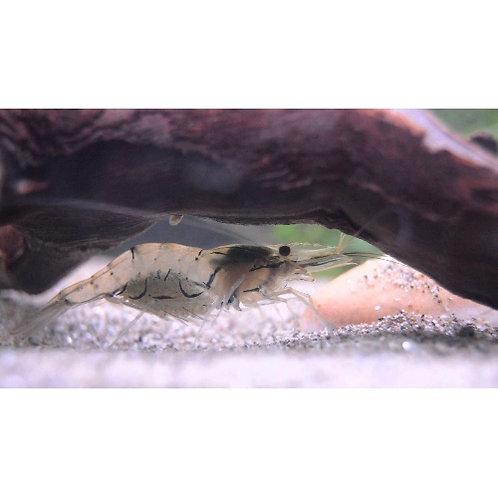 Whisker Shrimp