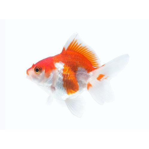 Red & White Ryukin Goldfish