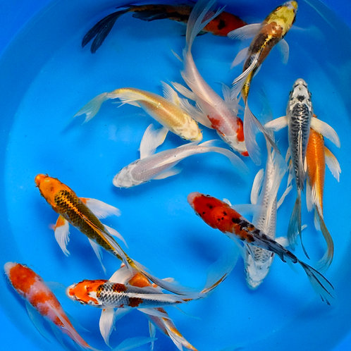 """Premium Quality Assorted Butterfly Koi 4""""- 5"""""""