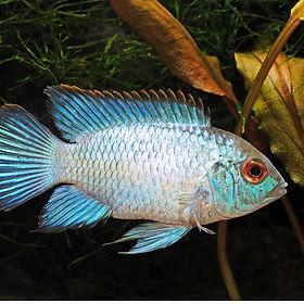 south american cichlid.jpg