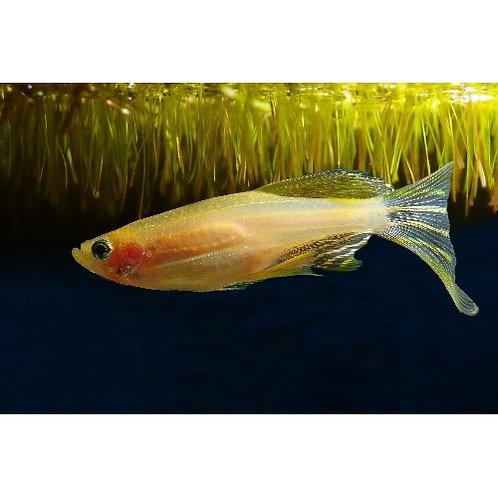 Longfin Gold Danio