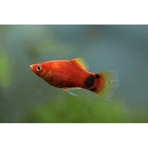 Red Crescent Platy