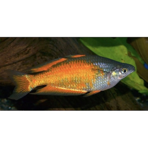 Parkinsoni Rainbowfish