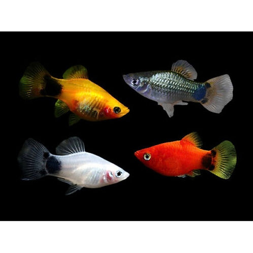 Assorted Crescent Platy