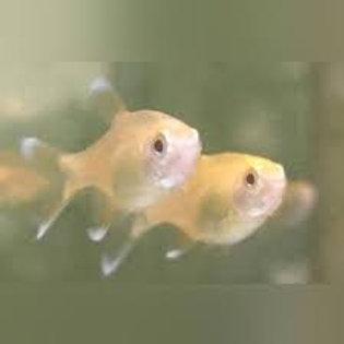 Albino Silvertip Tetra