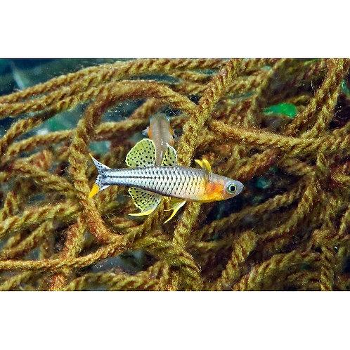Gertrudae Aru II Rainbowfish