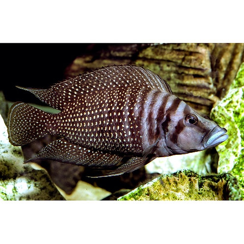 Black Altolamprologus Calvus Cichlid