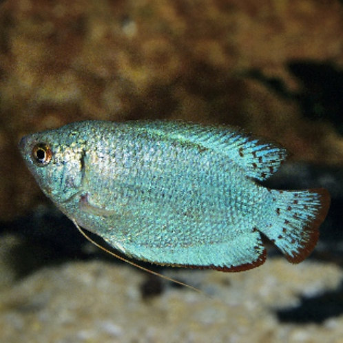 Cobalt Blue Dwarf Gourami Male