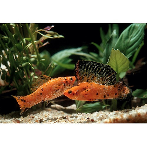 Red Sunset Sailfin Molly Pairs