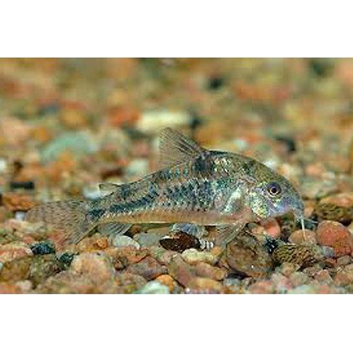 Paleatus Cory Catfish