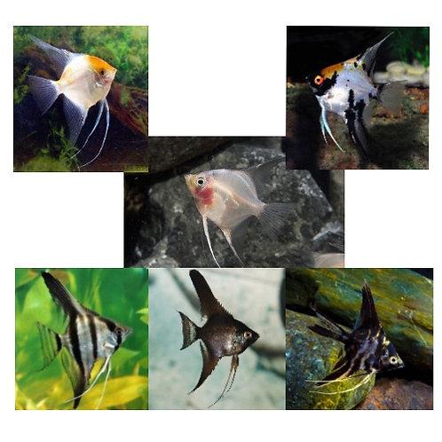 Assorted Fancy Angelfish