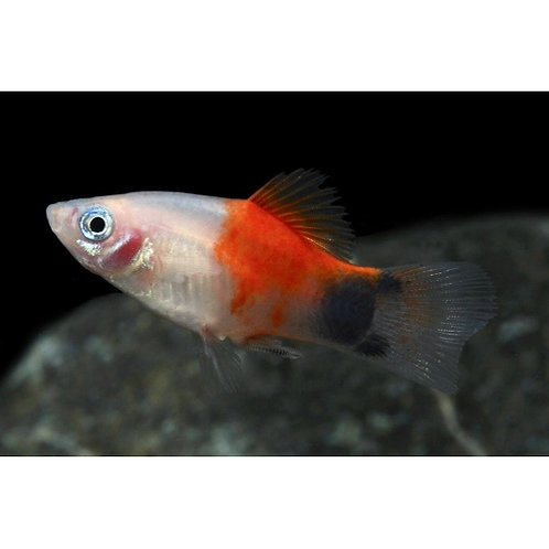 Pineapple Candy Crescent Platy
