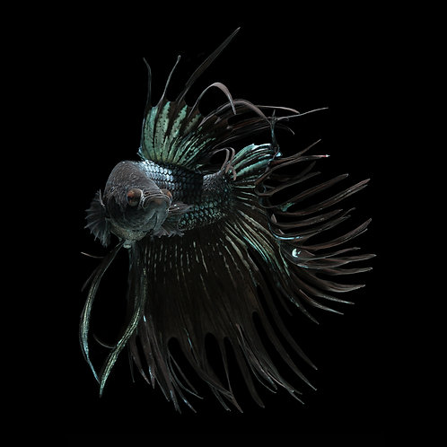 Male Black Orchid Crowntail Betta