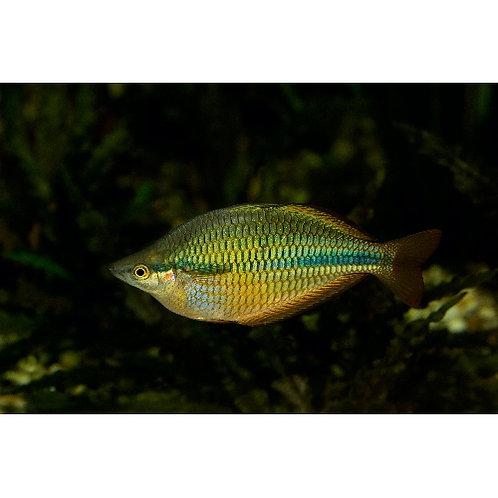 Yellow Rainbowfish