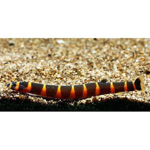 Striped / Banded Kuhli Loach