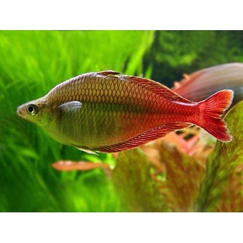 Bleheri Rainbow Fish
