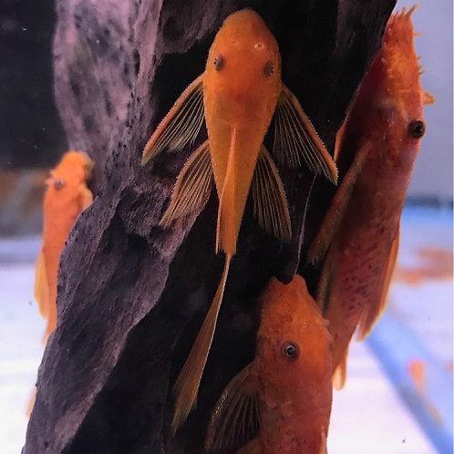 Super Red Longfin Bristlenose Pleco