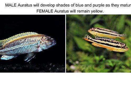 Auratus Cichlid
