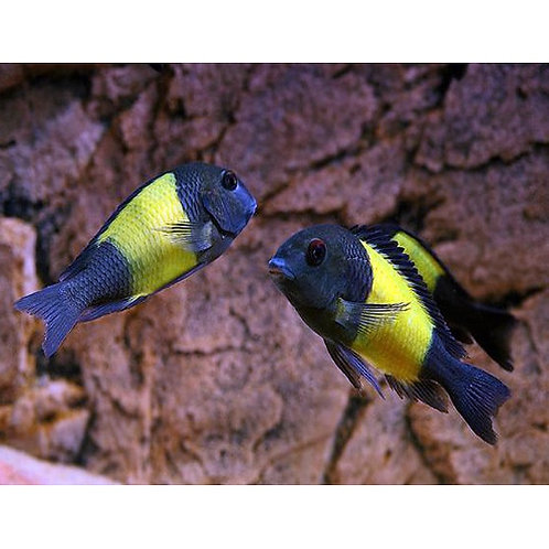 Yellow Band Tropheus Moorii Cichlid
