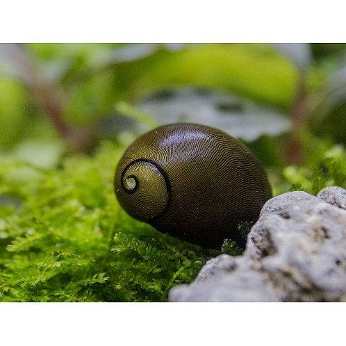 Olive Nerite Snail