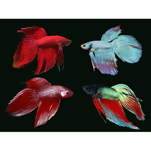 Assorted Common Male Betta