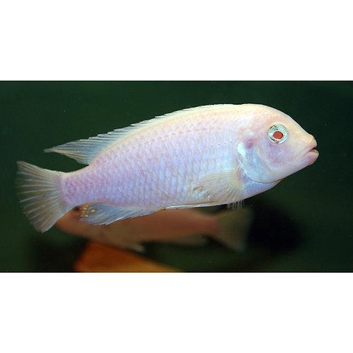 Albino Socolofi