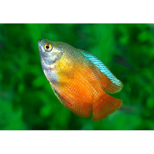 Flame Dwarf Gourami Male