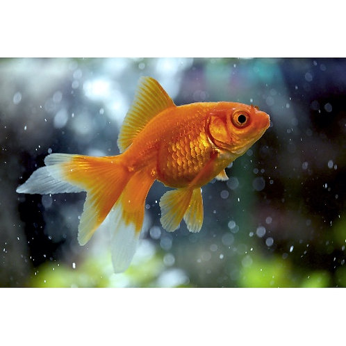 Red Fantail Goldfish