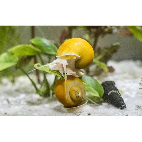 Gold Mystery Snail