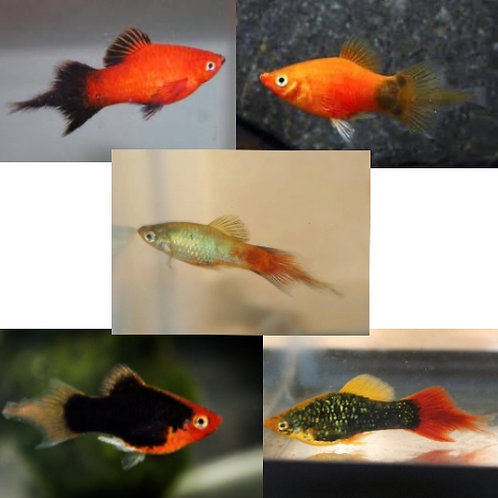 Assorted Plumetail Platy