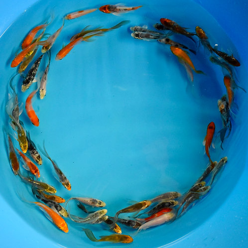 """Assorted Pond Quality Butterfly + Standard Fin Koi 2"""""""