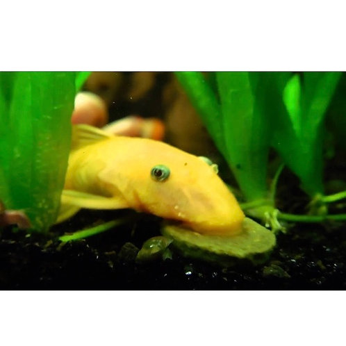 Lemon Blue-Eyed Bushynose Pleco