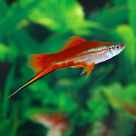 swordtail.jpg