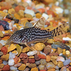 catfish corydoras.jpg